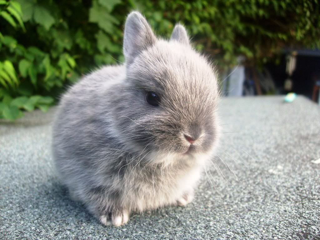 Netherlands Dwarf Bunny Guide and Facts