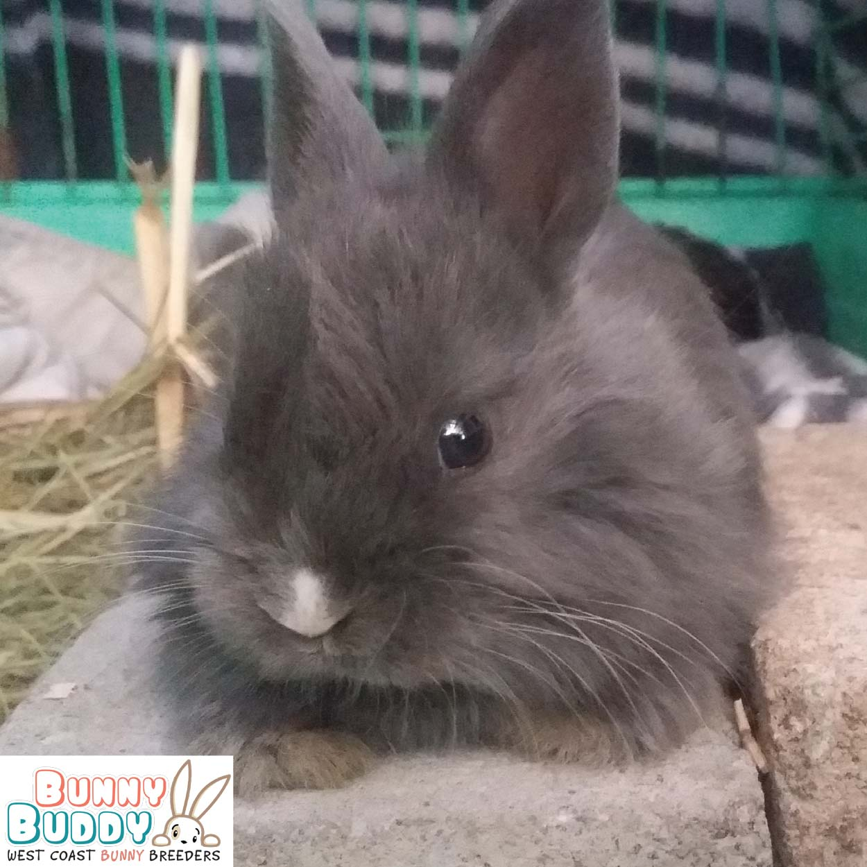 jersey wooly rabbit grey