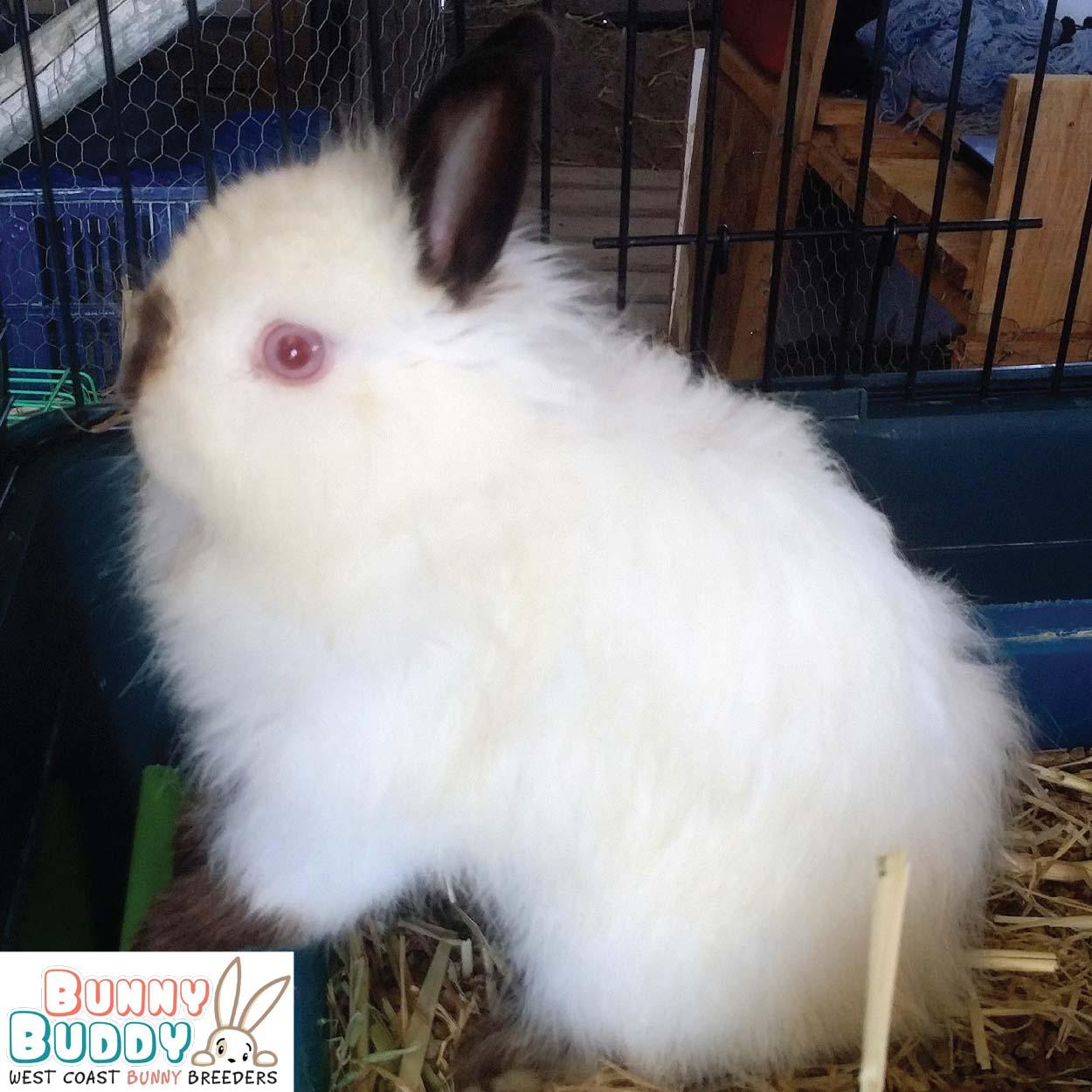 jersey wooly rabbit Himalayan