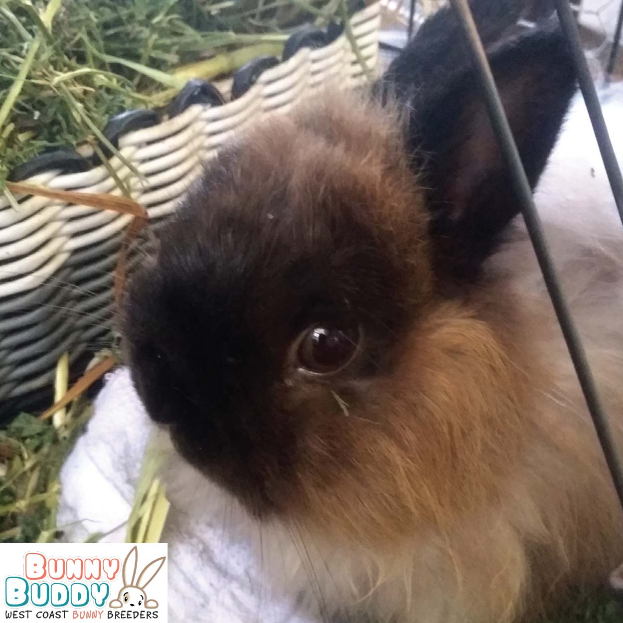 jersey wooly rabbit
