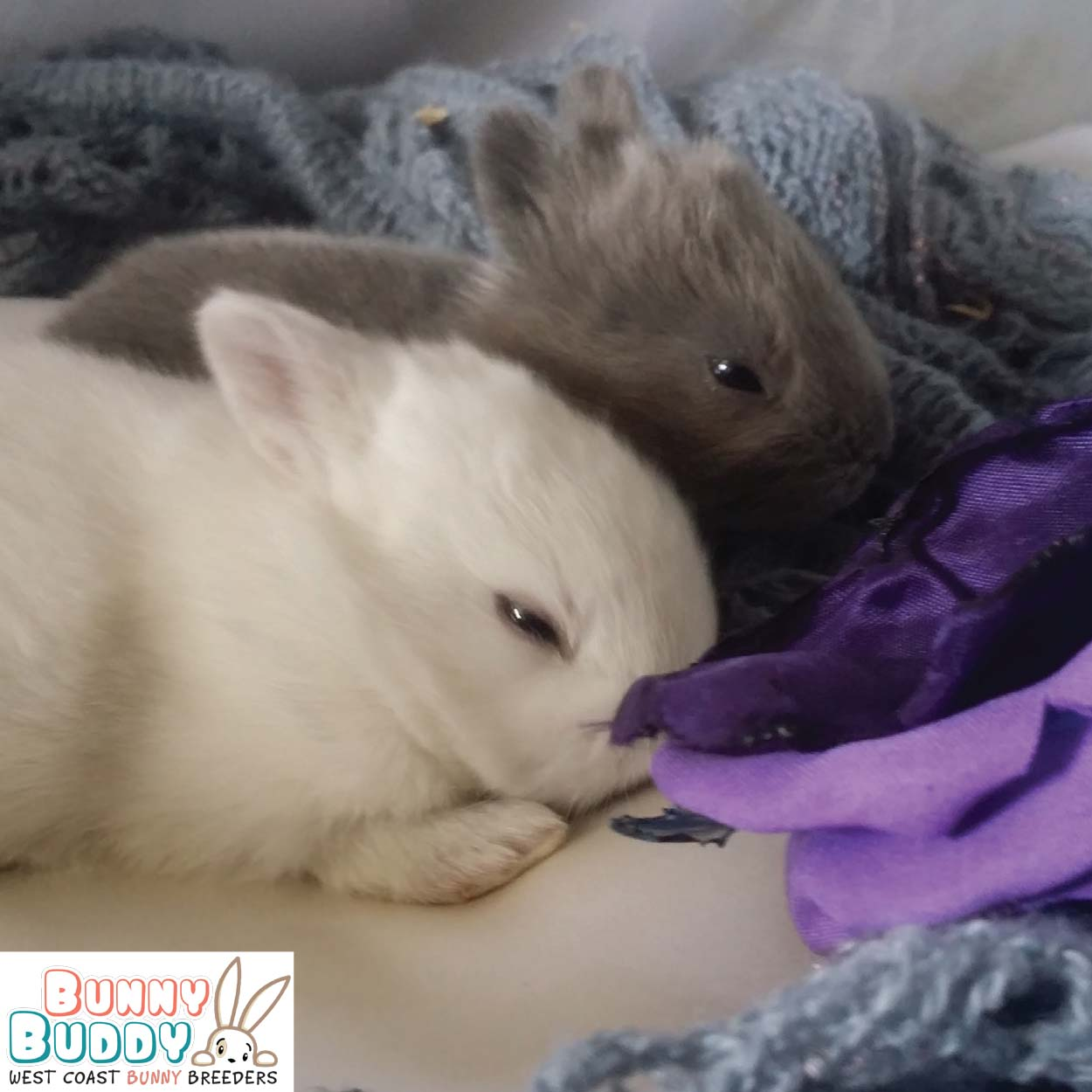netherland dwarf bunny babies