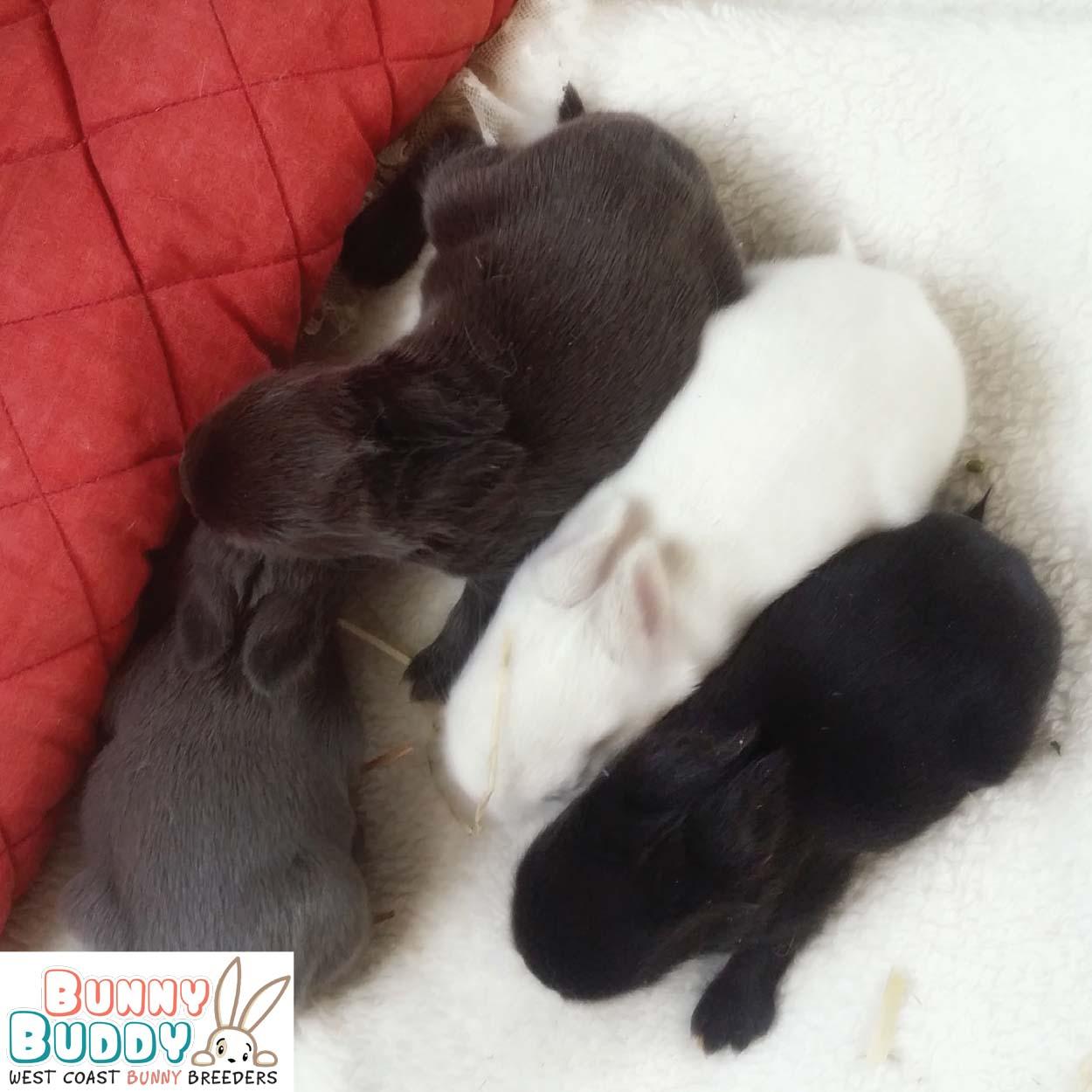 netherland dwarf rabbit kits