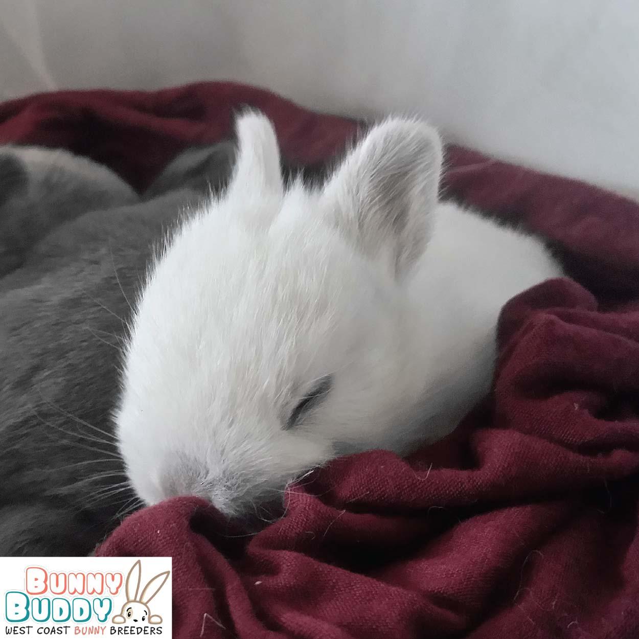 netherland dwarf white baby